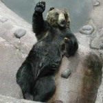 Bear Dancing A Jig