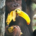 Chimp eating-banana