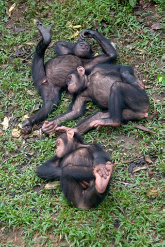 Passed Out Chimps