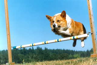 corgi working