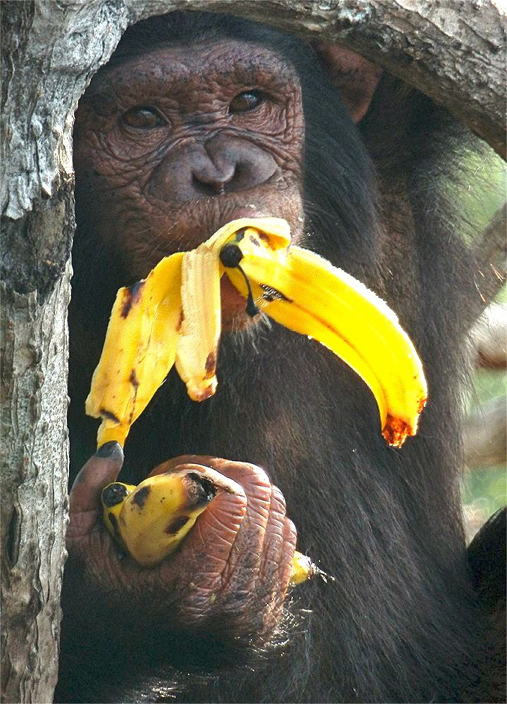 Friends And Family Concerned About Chimp S Bananaholism